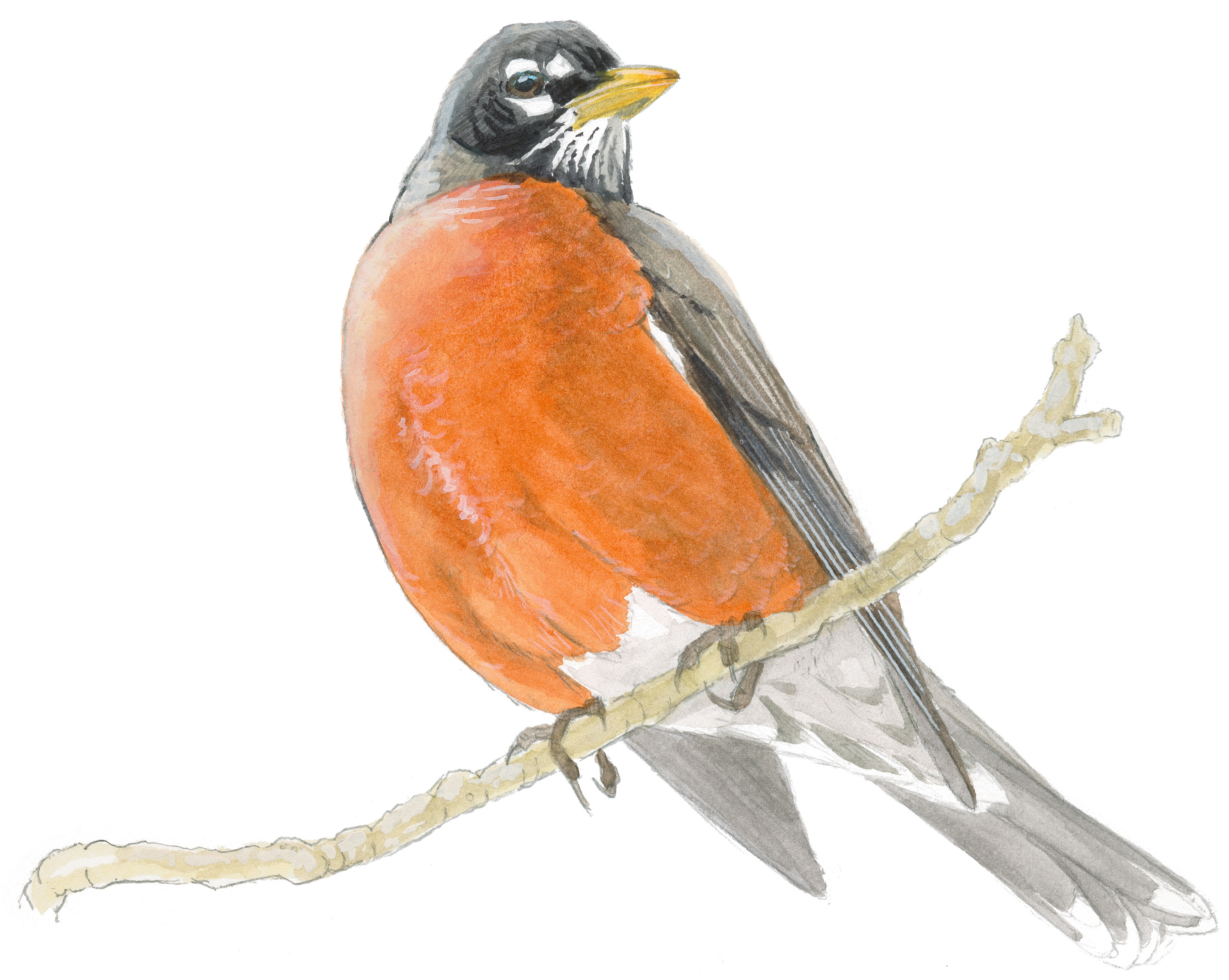 Robin Drawing | galleryhip.com - The Hippest Galleries!