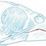 skull grosbeak