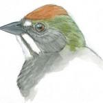 towhee green tailed head