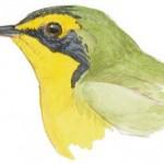 warbler kentucky head
