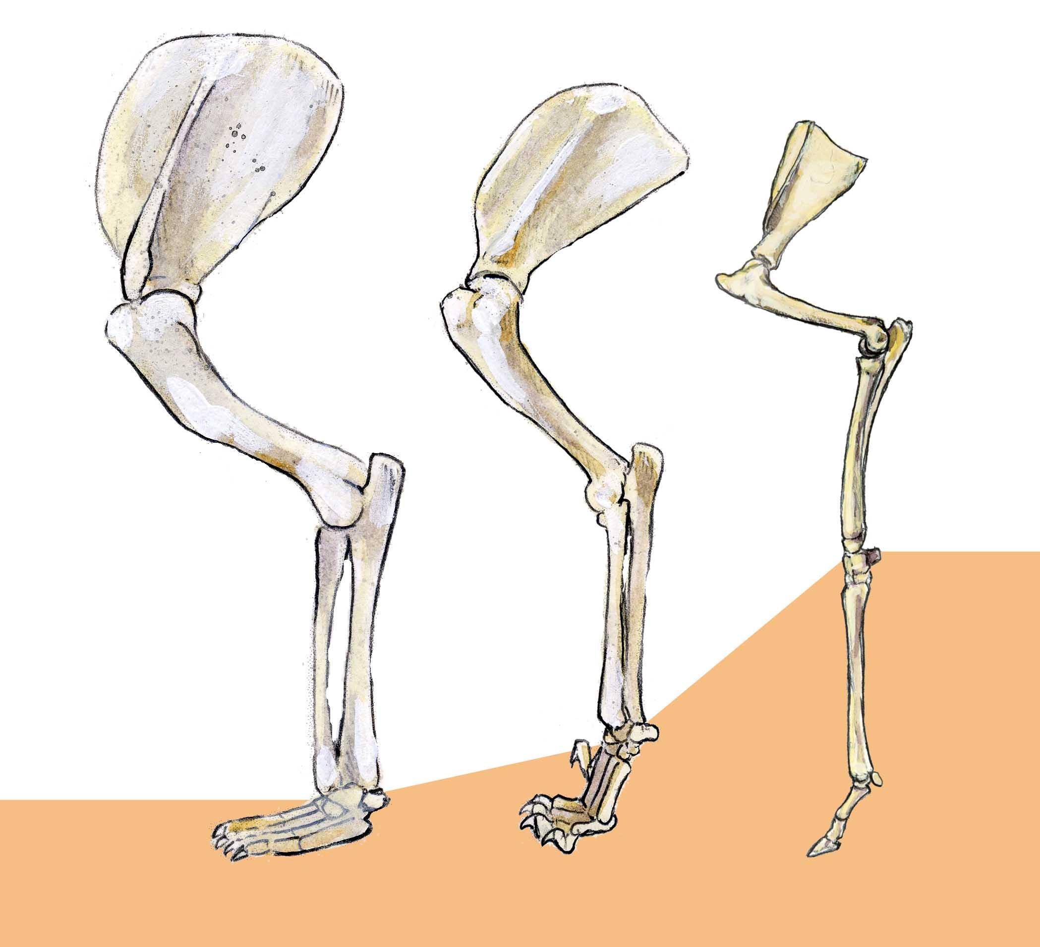 Gallery For gt Deer Leg Bone Anatomy