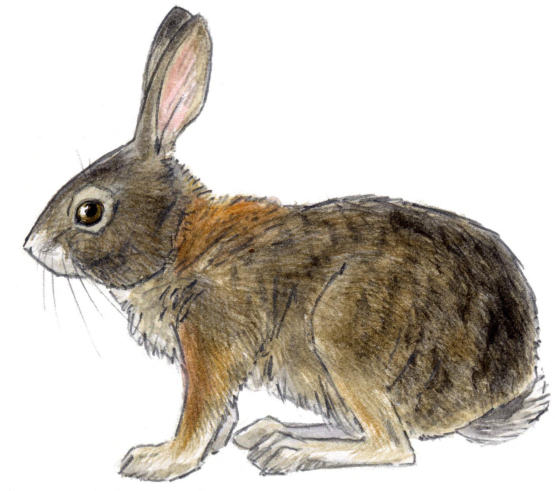 Brush Rabbit John Muir Laws