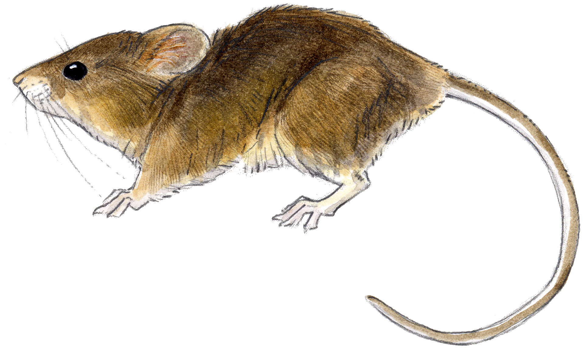 Mouse harvest west john muir laws for Field mouse cartoon