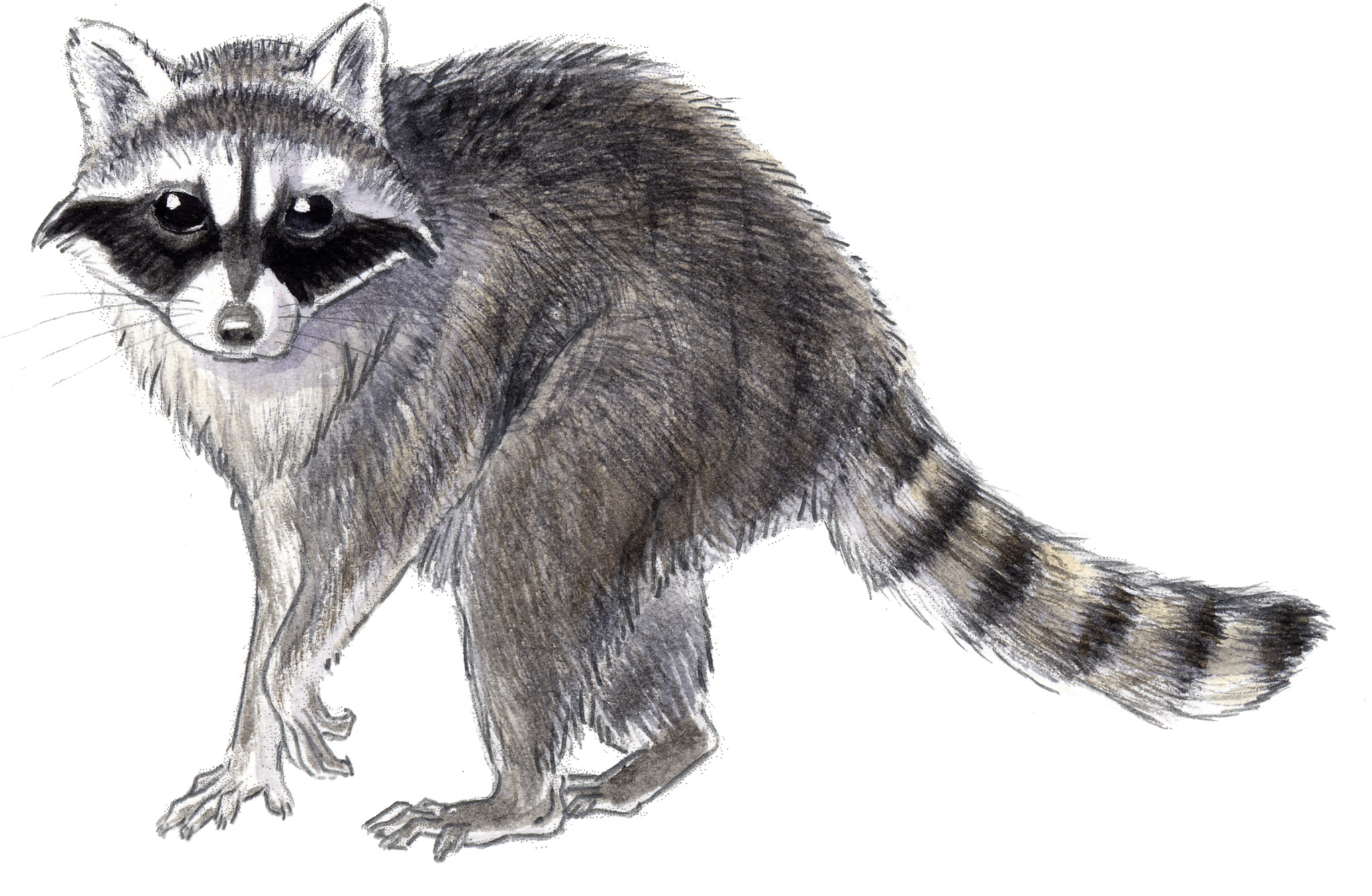 Line Drawing Raccoon : How to draw a realistic raccoon imgkid the
