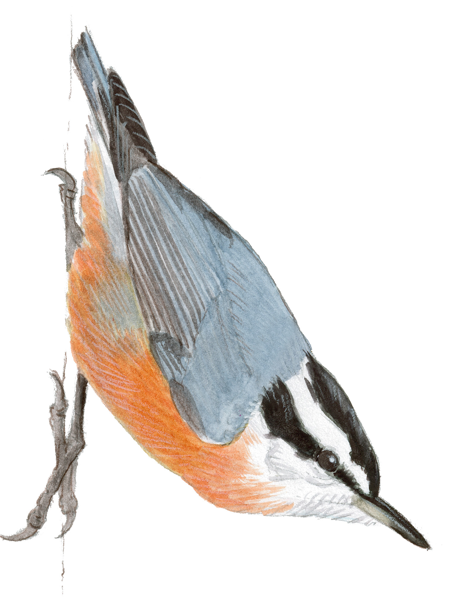 Red Breasted Nuthatch John Muir Laws