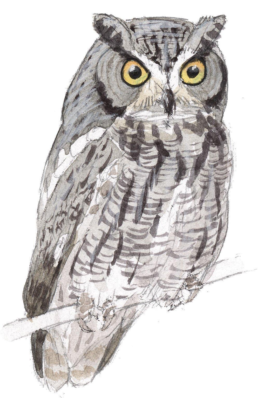 western screach owl john muir laws