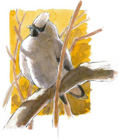 How to paint shadows: Bohemian Waxwing