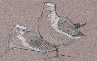 Gull Identification Guide (free download)