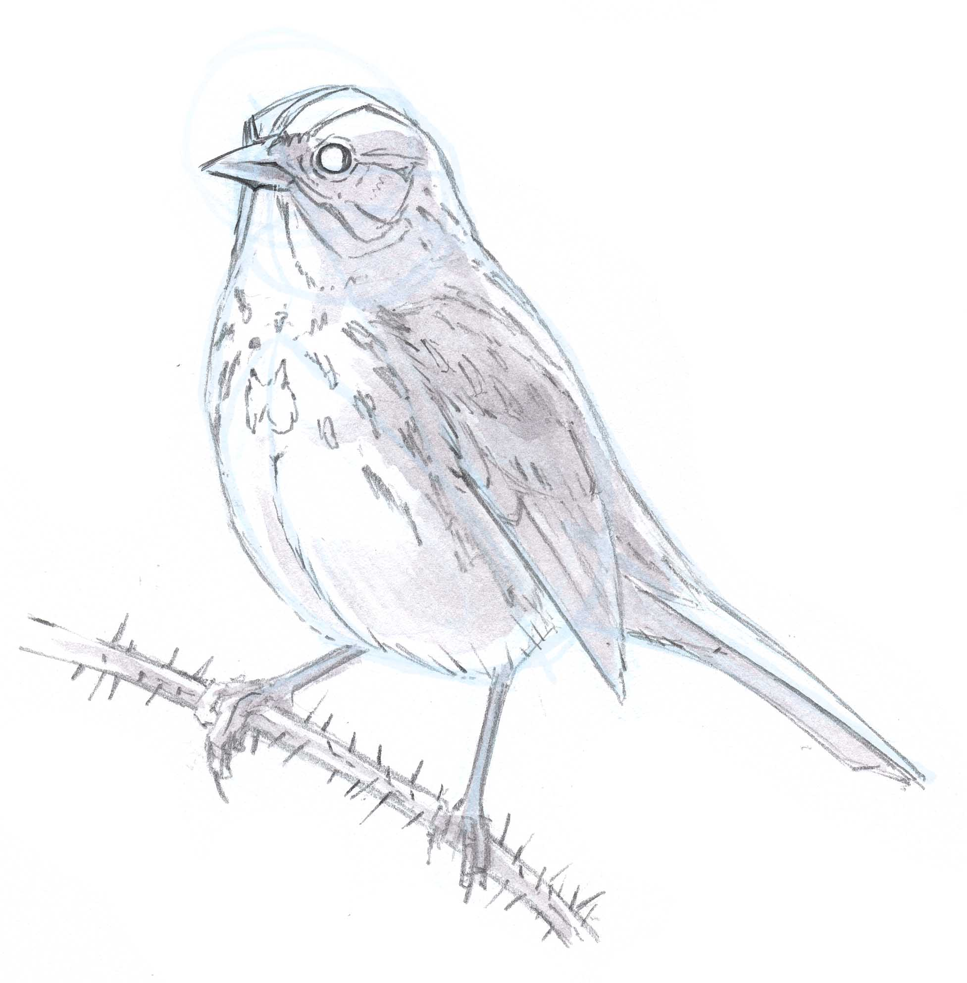 Song Sparrow SBS 17 - John Muir Laws