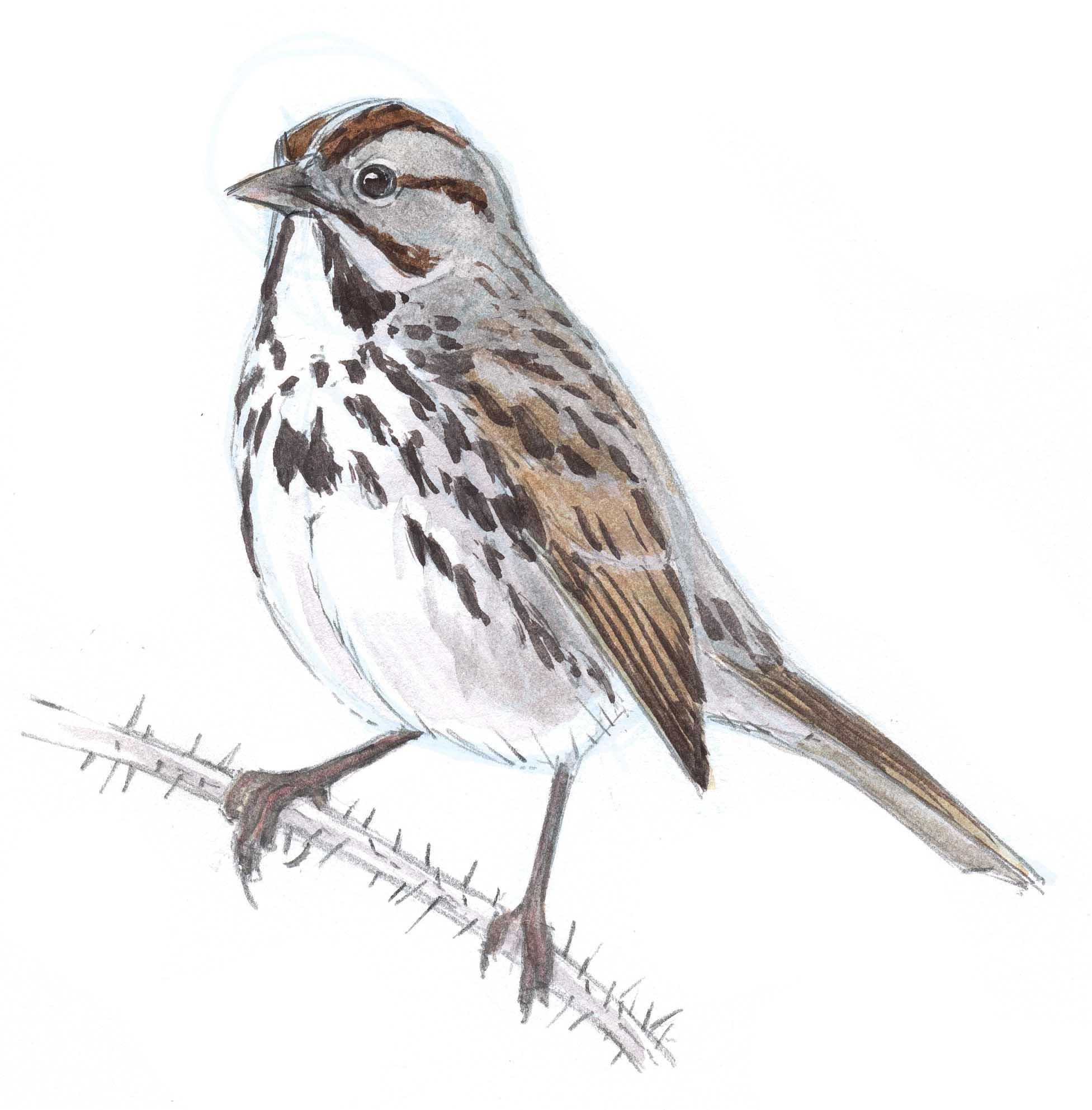 Song Sparrow SBS 21 - John Muir Laws