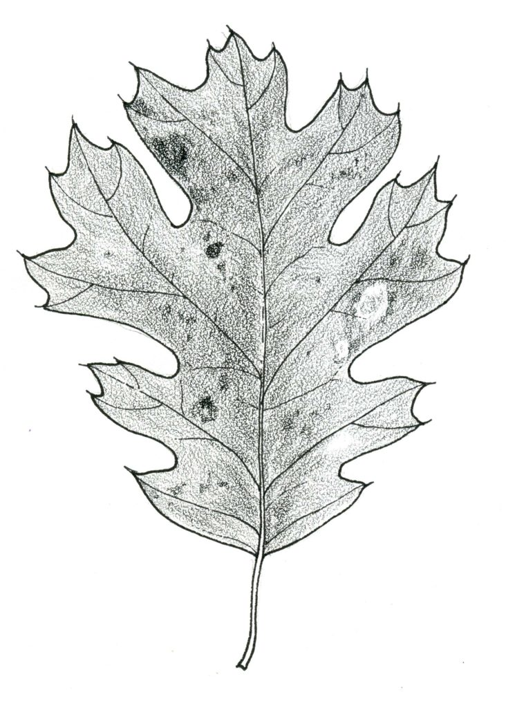 How to Draw an Oak Leaf on Stipple Paper