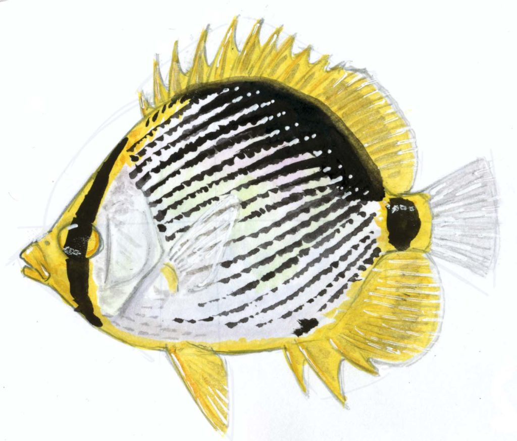 Black-back Butterfly Fish step-by-step