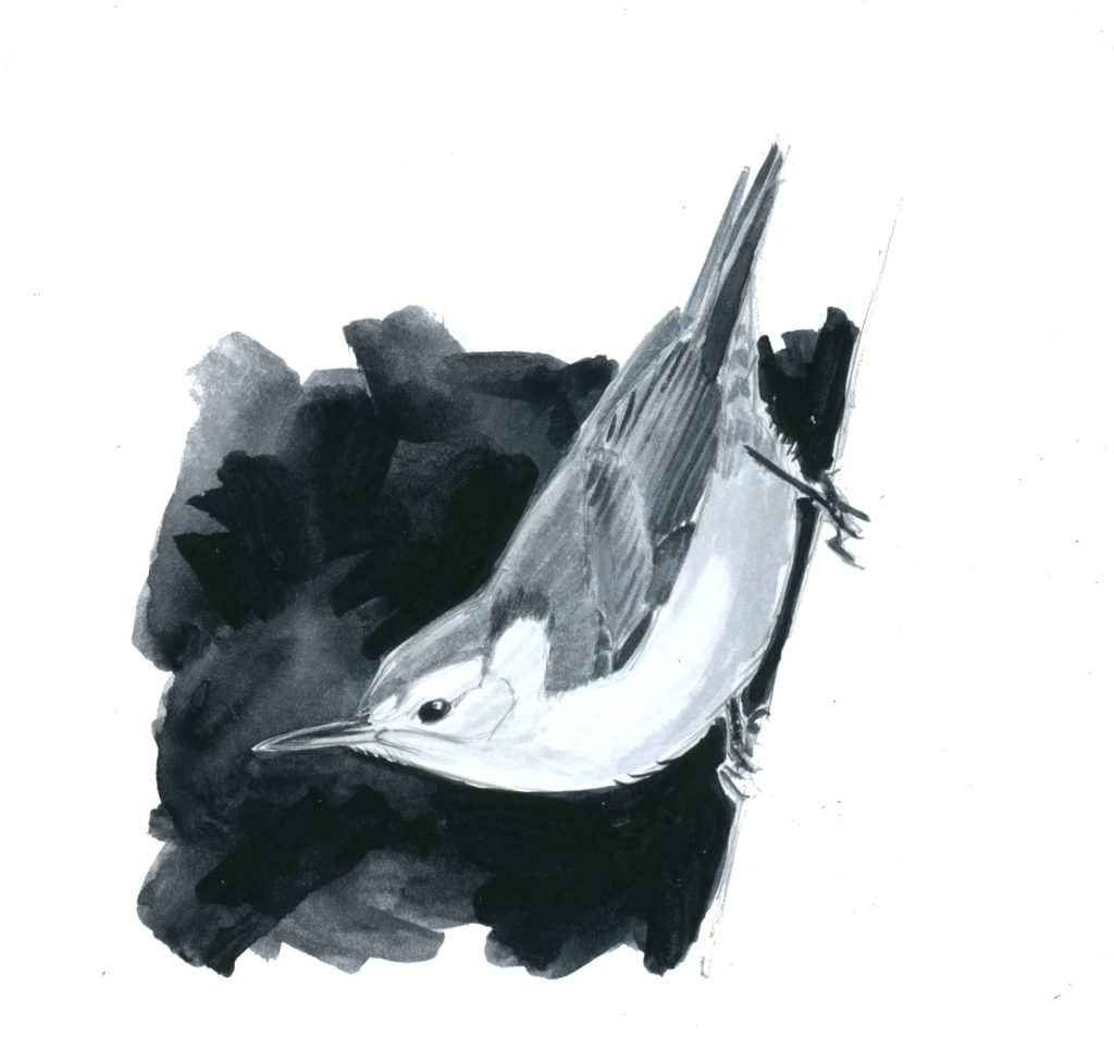 Monochrome Study: White-breasted Nuthatch step-by-step