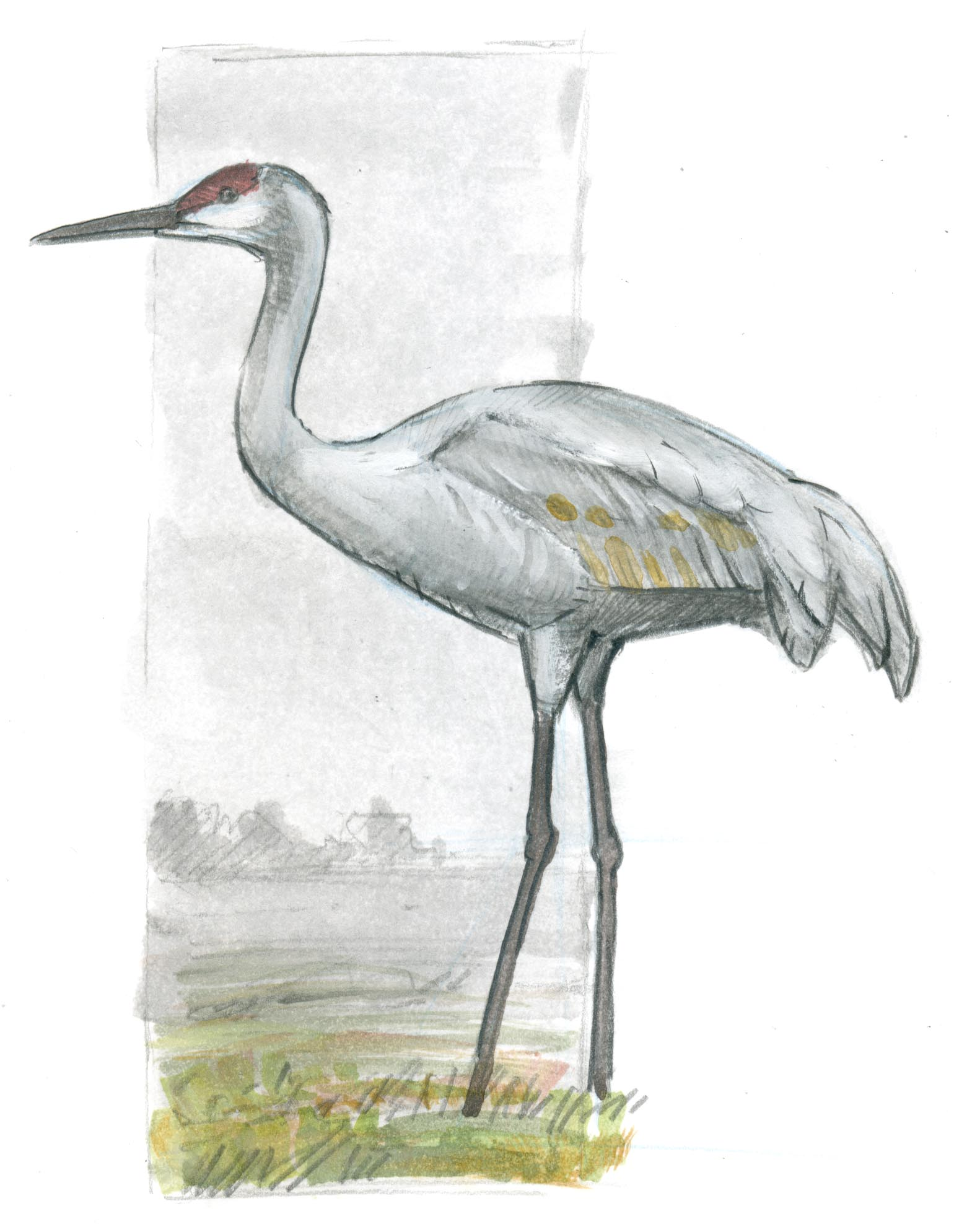 How To Draw A Sandhill Crane Basic Lines - John Muir Laws
