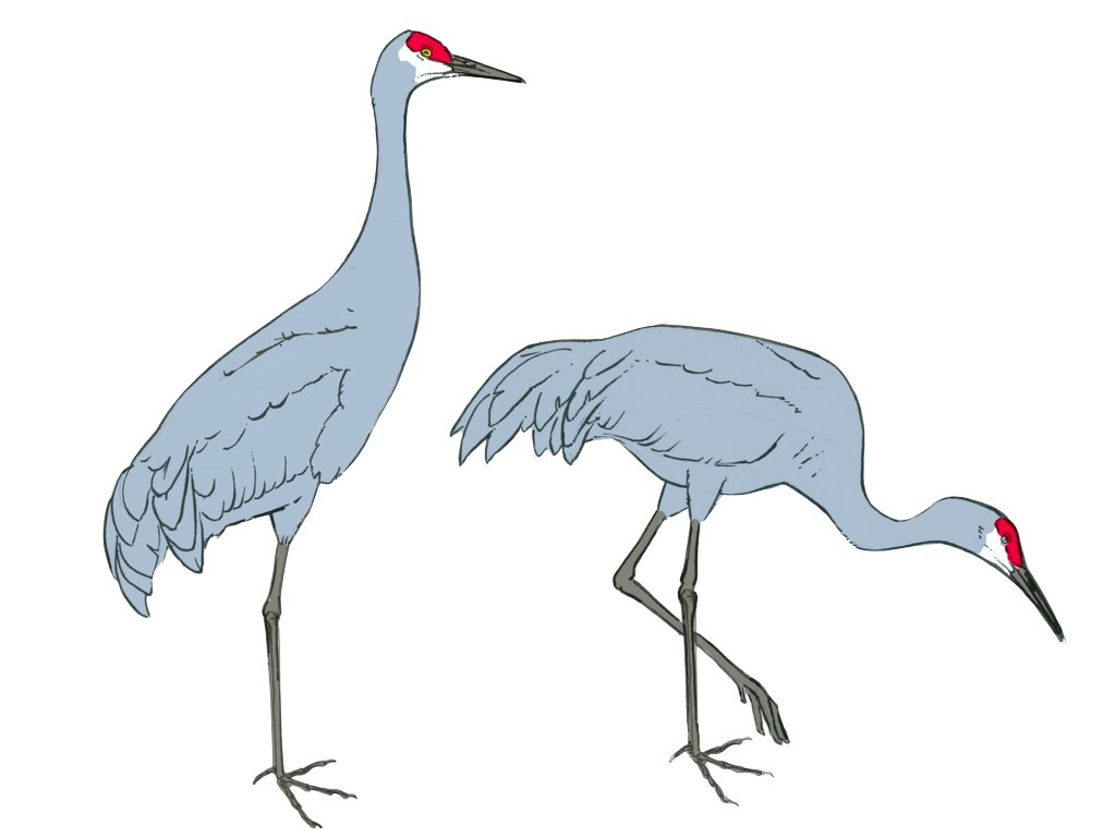 Sandhill Crane.017-001 - John Muir Laws  Sandhill Crane....