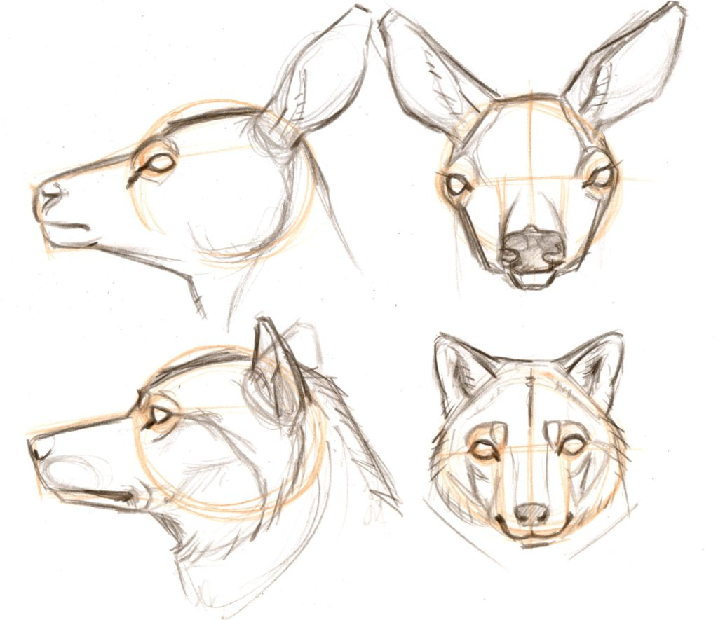 Drawing Mammal Heads and Faces (video workshop)
