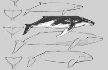 Whale Anatomy 1.11