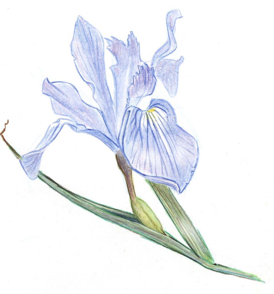 Douglass Iris with Watercolor Pencil Step-by-Step