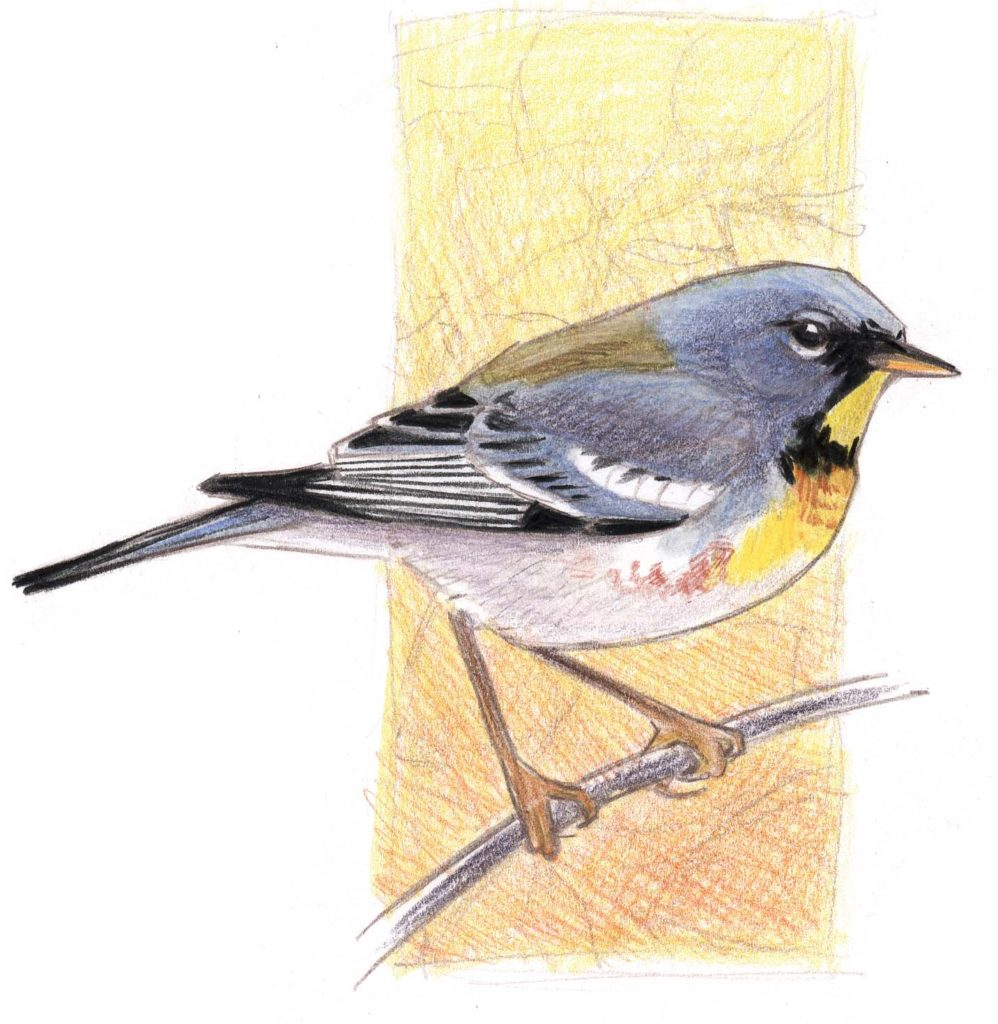 Northern Parula with Watercolor Pencils Step-by-Step